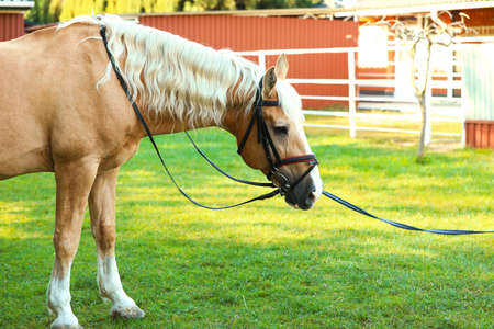Palomino horse in bridle outdoors on sunny day Stok Fotoğraf