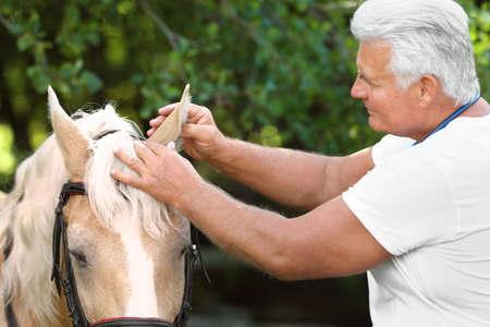 Senior veterinarian examining palomino horse outdoors on sunny day