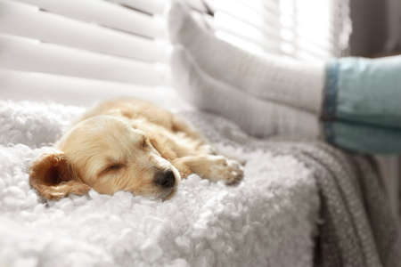 Cute English Cocker Spaniel puppy sleeping on plaid near window indoors 版權商用圖片