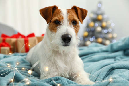 Cute Jack Russell Terrier dog on bed in room decorated for Christmas. Cozy winter