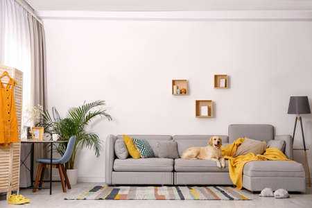 Modern living room interior. Cute Golden Labrador Retriever on couch