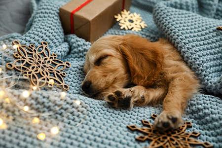 Adorable English Cocker Spaniel puppy sleeping near Christmas decorations on blue knitted blanket. Фото со стока