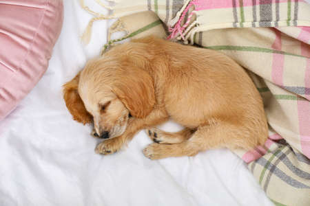 Cute English Cocker Spaniel puppy sleeping on bed, top view