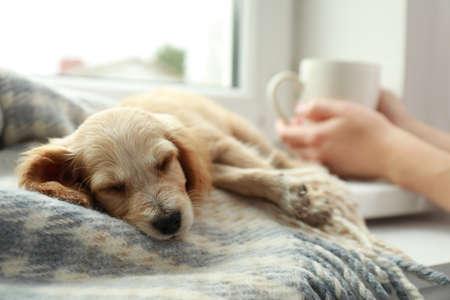 Cute English Cocker Spaniel puppy sleeping on blanket near window indoors Фото со стока