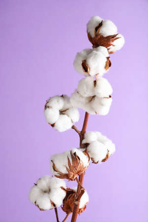 Branch with fluffy cotton flowers on lilac background
