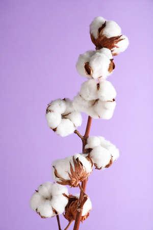 Ramo con soffici fiori di cotone su sfondo lilla