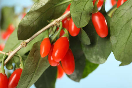 Branch with ripe fresh goji berries outdoors