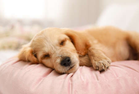 Cute English Cocker Spaniel puppy sleeping on pillow indoors