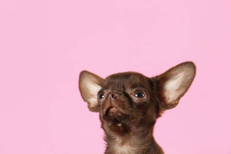 Cute small Chihuahua dog on pink background. Space for text