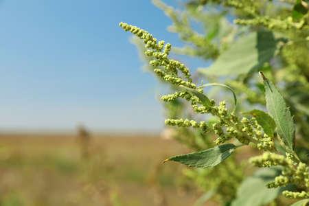 Blooming ragweed plant (Ambrosia genus) outdoors on sunny day. Seasonal allergy Imagens