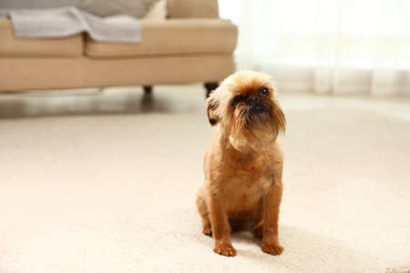 Portrait of funny Brussels Griffon dog on carpet at home. Space for text