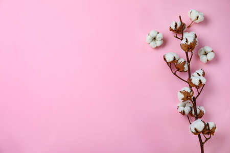 Flat lay composition with cotton flowers on pink background. Space for text