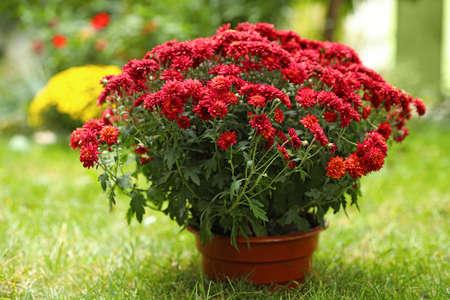 Beautiful red chrysanthemum flowers in pot outdoors Stockfoto