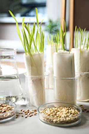 Germination and energy analysis of plants on table in laboratory. Paper towel method Zdjęcie Seryjne