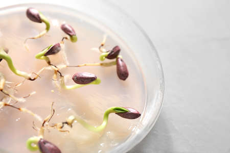 Germination and energy analysis of sunflower seeds in Petri dish on table, closeup. Laboratory research Zdjęcie Seryjne