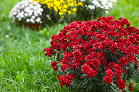 Beautiful blooming Chrysanthemum bushes outdoors. Autumn flowers 免版税图像