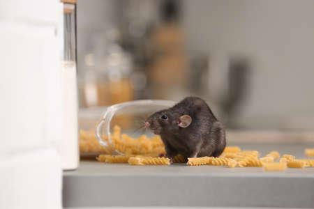 Rat près d'un contenant ouvert avec des pâtes sur le comptoir de la cuisine. Ravageur domestique Banque d'images