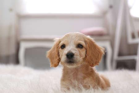 Cute English Cocker Spaniel puppy on fuzzy carpet indoors
