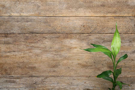 Green bamboo stem on wooden background, top view. Space for text