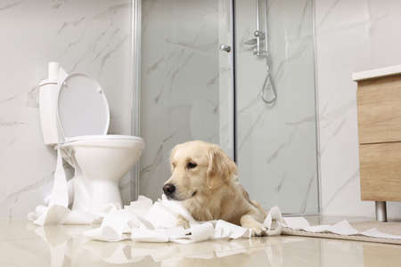 Cute Golden Labrador Retriever playing with toilet paper in bathroom Reklamní fotografie