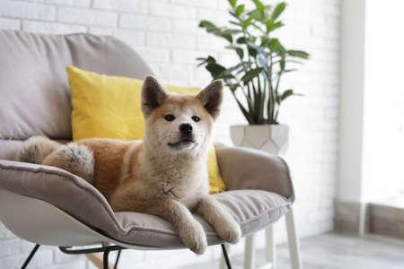 Cute Akita Inu dog on armchair in room with houseplants