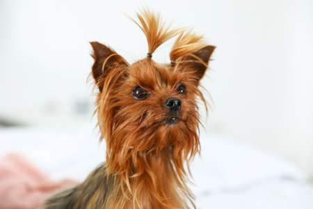 Adorable Yorkshire terrier on bed indoors. Happy dog