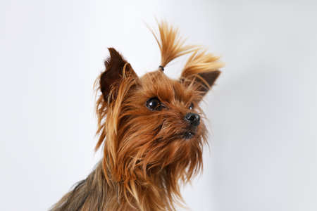 Adorable Yorkshire terrier on blurred background. Happy dog