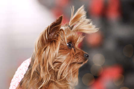 Adorable Yorkshire terrier indoors, closeup. Happy dog