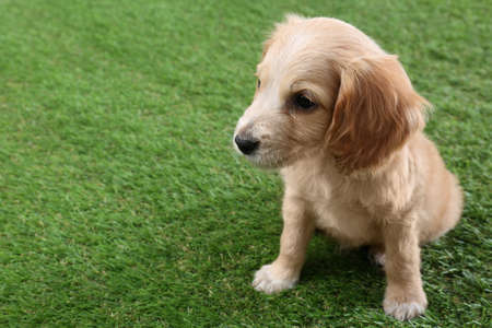 Cute English Cocker Spaniel puppy on green grass. Space for text