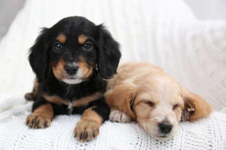 Cute English Cocker Spaniel puppies on soft plaid