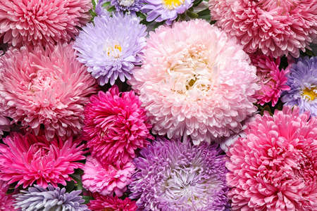 Beautiful aster flowers as background, closeup view