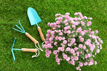 Beautiful chrysanthemum flowers with gardening tools on green grass, top view