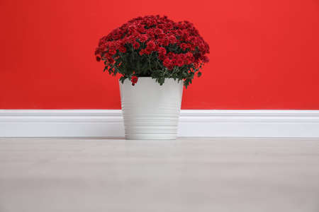 Pot with beautiful chrysanthemum flowers on floor against red wall Stock Photo