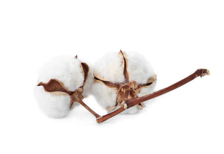 Beautiful fluffy cotton flowers on white background