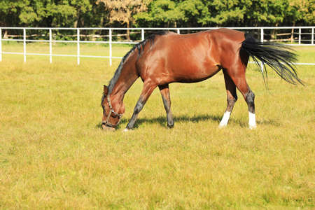 Chestnut horse in bridle grazing on green pasture