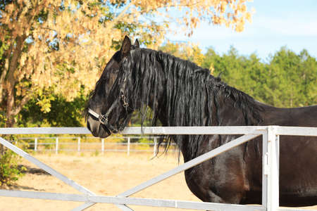 Beautiful Friesian horse at white fence outdoors Stock Photo