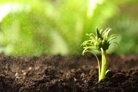 Fresh green plant in fertile soil under rain, space for text