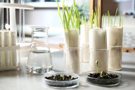 Laboratory glassware with soil and sprouts on table. Paper towel method