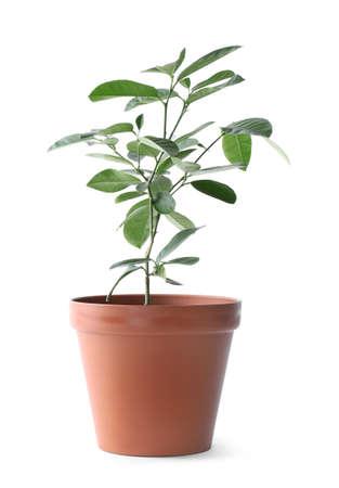 Potted lemon tree on white background. Citrus plant