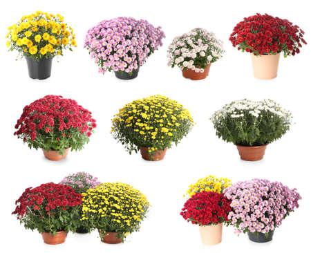 Set di diversi bellissimi fiori di crisantemo su sfondo bianco Archivio Fotografico