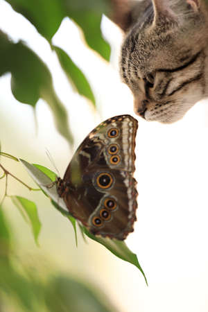 Beautiful Blue Morpho butterfly and tabby cat, closeup