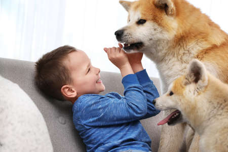 Happy boy with Akita Inu dogs on sofa. Lovely friends Reklamní fotografie
