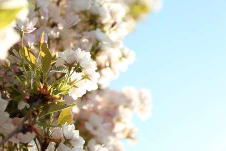 Blossoming cherry tree, closeup