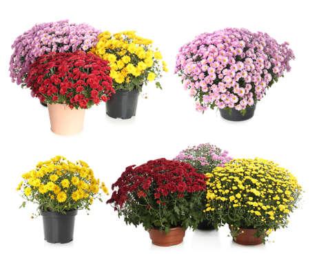 Set van verschillende mooie chrysant bloemen op witte achtergrond Stockfoto
