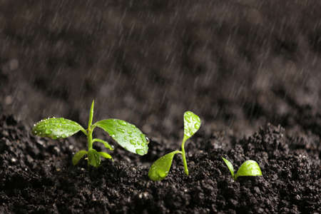 Fresh seedlings in fertile soil under rain, space for text