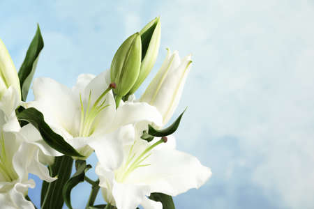 Beautiful lilies on blue background, closeup view. Space for text