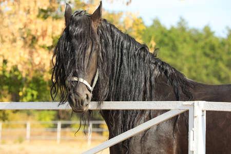 Hermoso caballo frisón en la valla blanca al aire libre