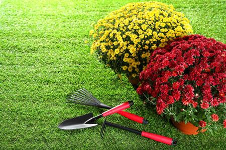 Bellissimi fiori di crisantemo con attrezzi da giardinaggio su erba verde Archivio Fotografico