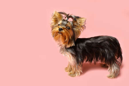 Adorable Yorkshire terrier on pink background. Cute dog