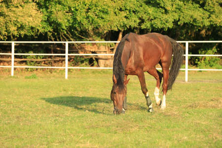 Beautiful chestnut horse grazing on green pasture